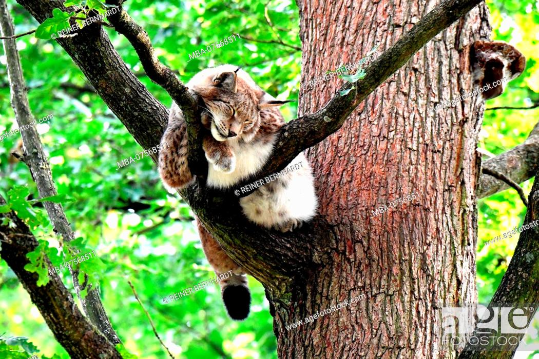 Stock Photo: Lynx, forest.