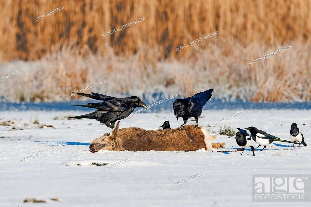 Imagen: Common Raven (Corvus corax) and Magpie (Pica pica) on Roe Deer (Capreolus capreolus), Germany, Mecklenburg-Vorpommern.