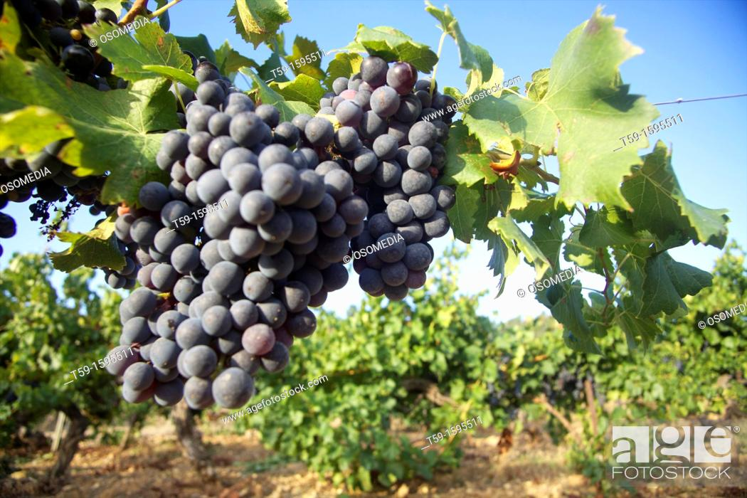 Stock Photo: Wineyards in Provence Correns, france.
