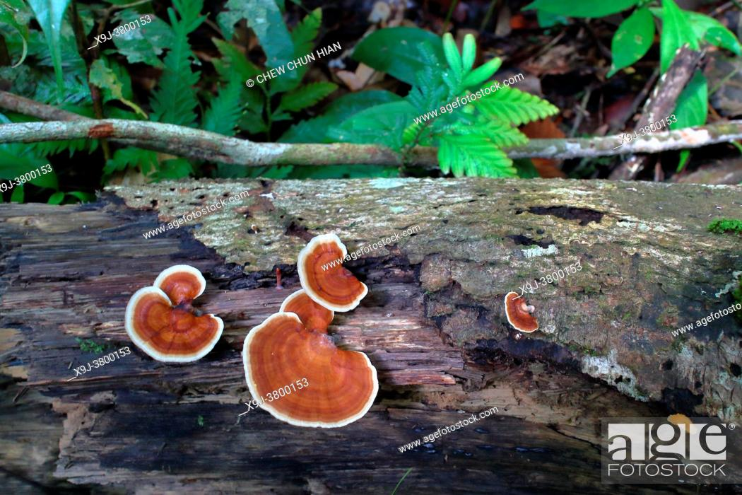 Stock Photo: Turkey tail Fungus on tree trunk, common polypore mushroom, trametes versicolor, coriolus versicolor, polyporus versicolor, asia.