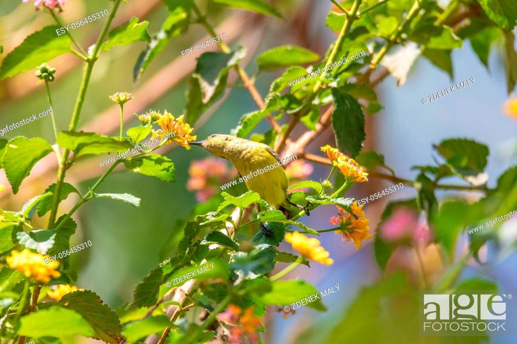 Stock Photo: Olive-backed Sunbird (Cinnyris jugularis), also known as the yellow-bellied sunbird feeds nectar from flower, Wondo Genet Wabe Ethiopia wildlife.