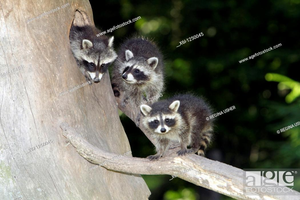 Stock Photo: Raccoon Procyon lotor, three baby animals, sitting in front of den entrance in tree stump, Germany.
