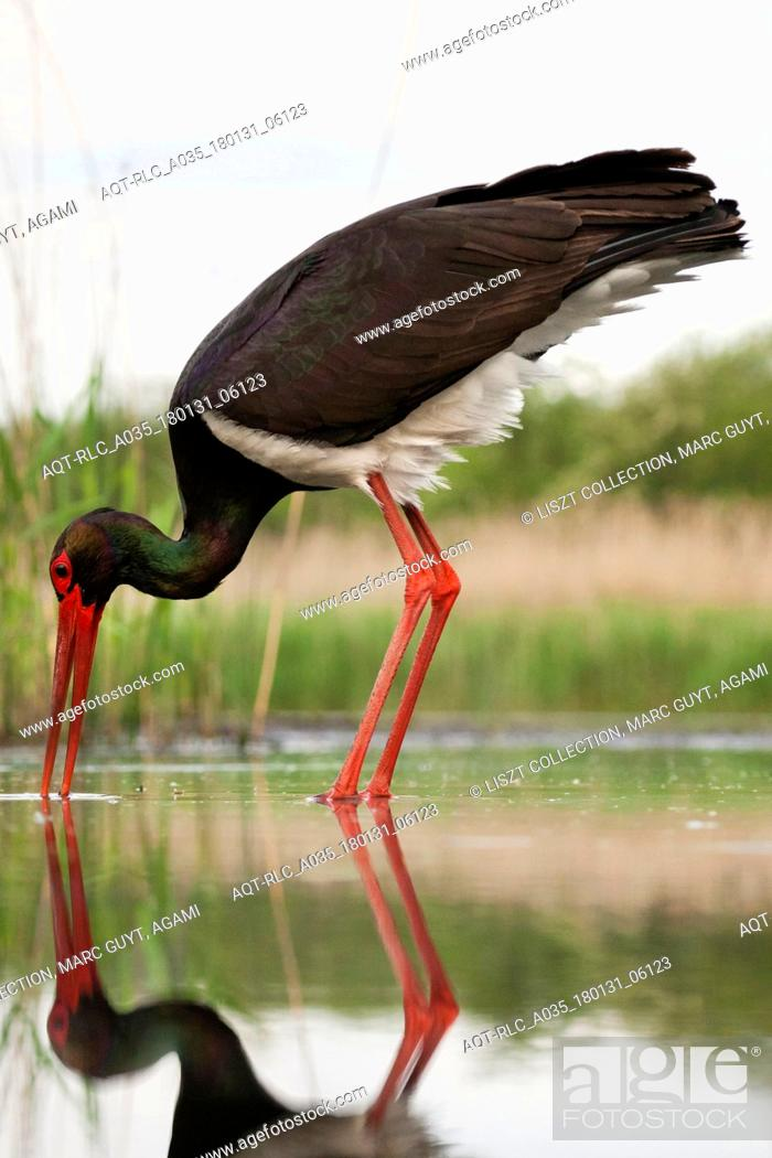 Stock Photo: Black Stork adult hunting, Black Stork, Ciconia nigra.