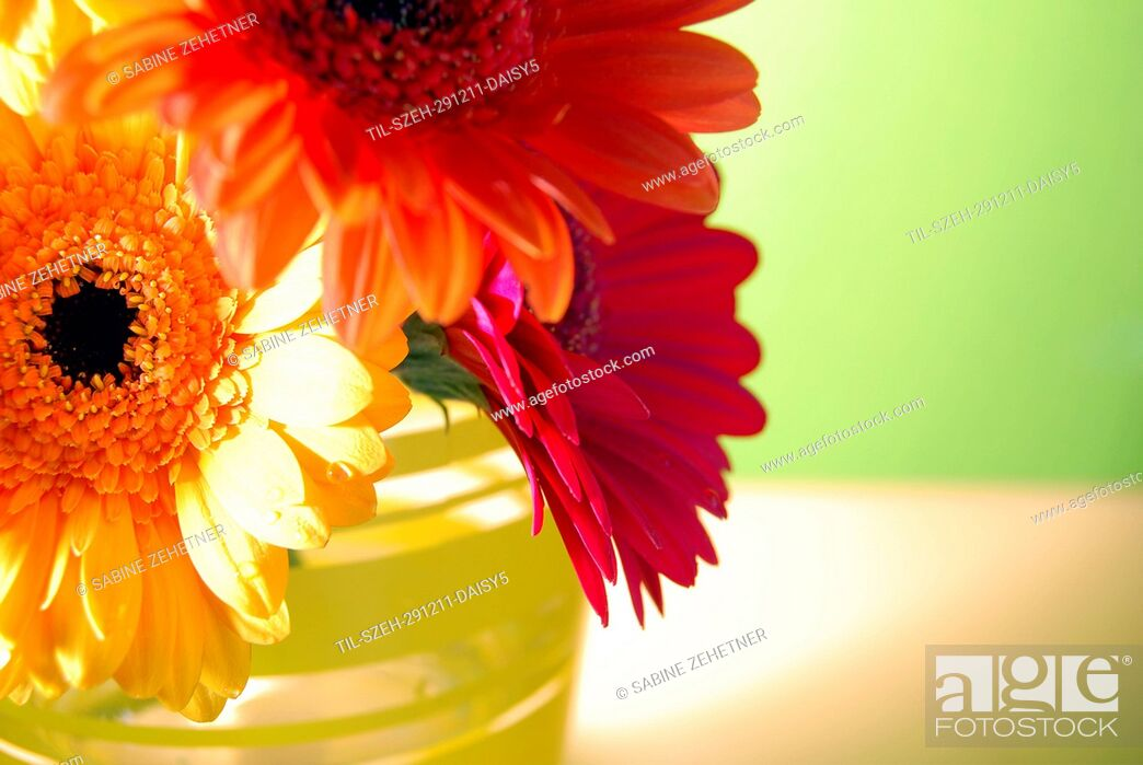 Stock Photo: Close up of three gerbera daisies in vase against soft green background.