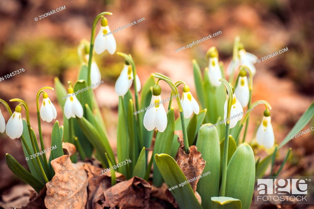 Stock Photo: fresh spring snowdrop flowers in the forest. Happy womens day 8 march invitation card. selective focus macro shot with shallow DOF.