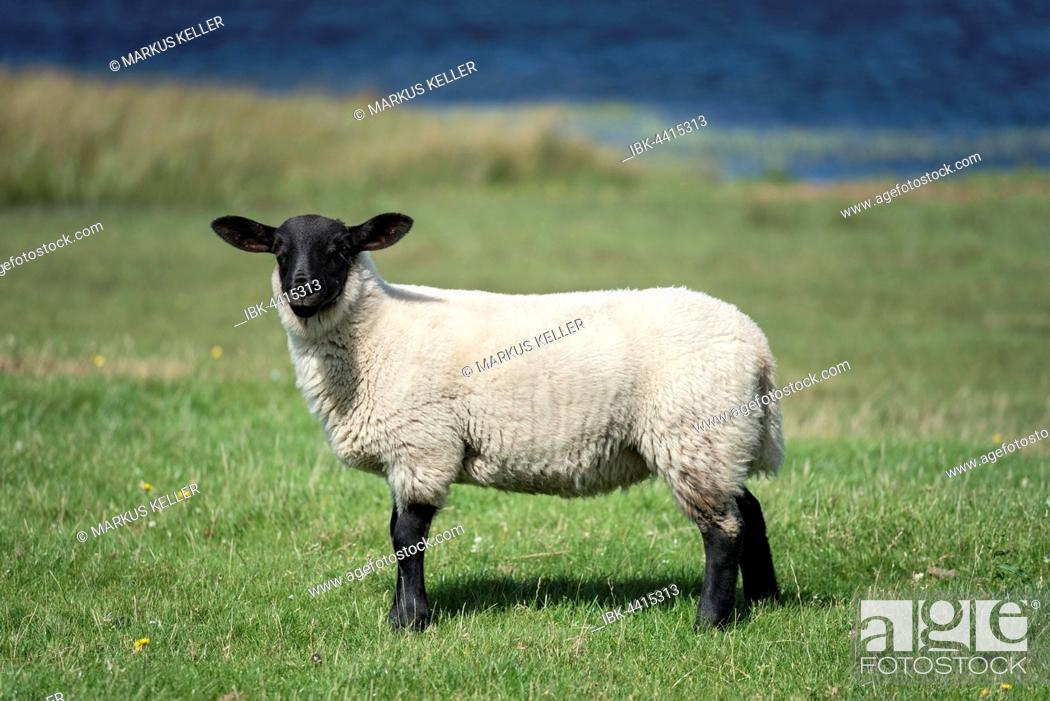 Stock Photo: Scottish Sheep, Scottish Blackface sheep (Ovis aries gmelini) on the meadow, Isle of Islay, Inner Hebrides, Scotland, United Kingdom.
