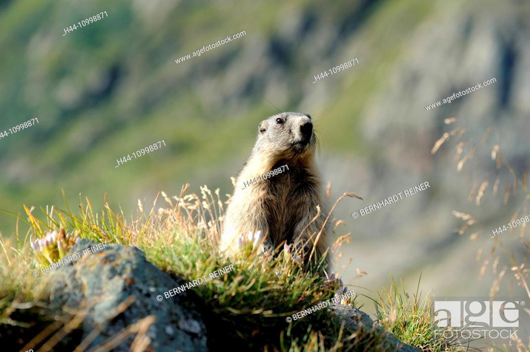 Stock Photo: Groundhog.