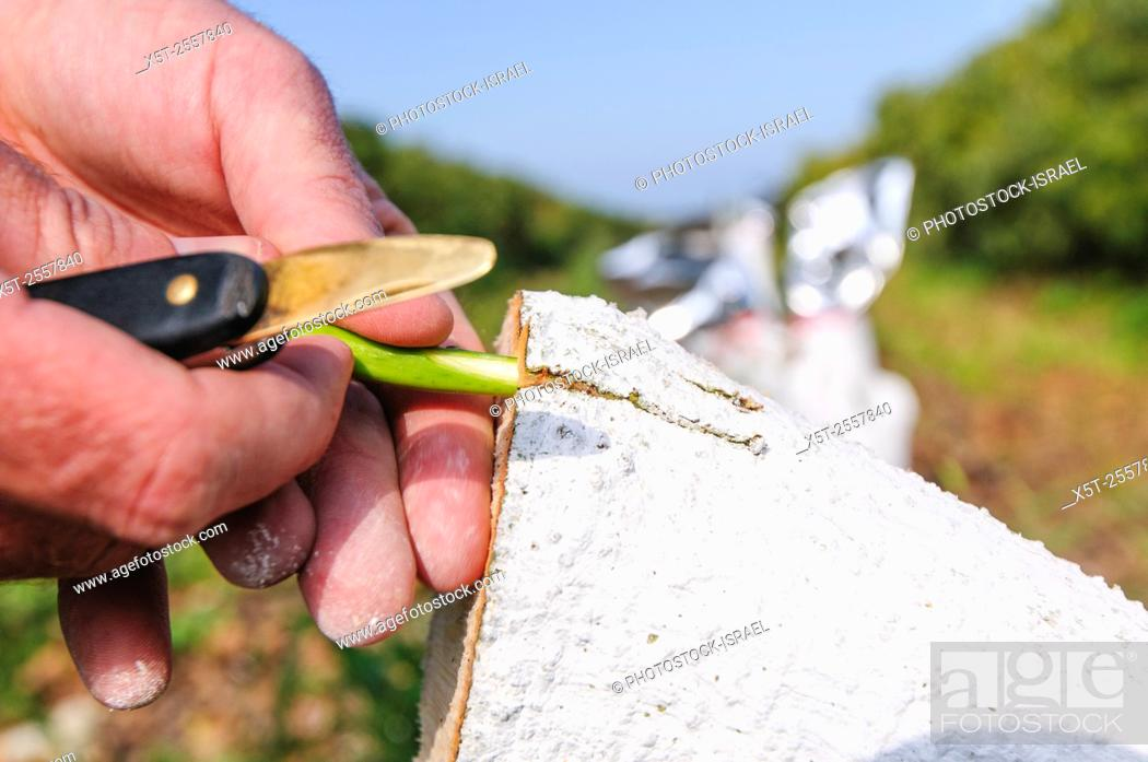 Stock Photo: Grafting an avocado tree. worker grafts a hybrid cultivar of avocado to a large avocado tree stump. The grafts will utilize the existing roots of the rootstock.