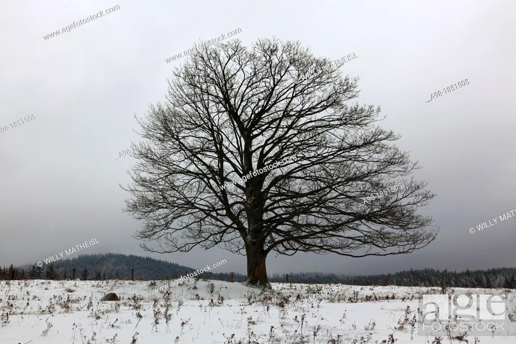 Imagen: Single Sycamore Maple Tree on field at winter, Sumava National Park, Bohemia, Czech Republic, Europe.