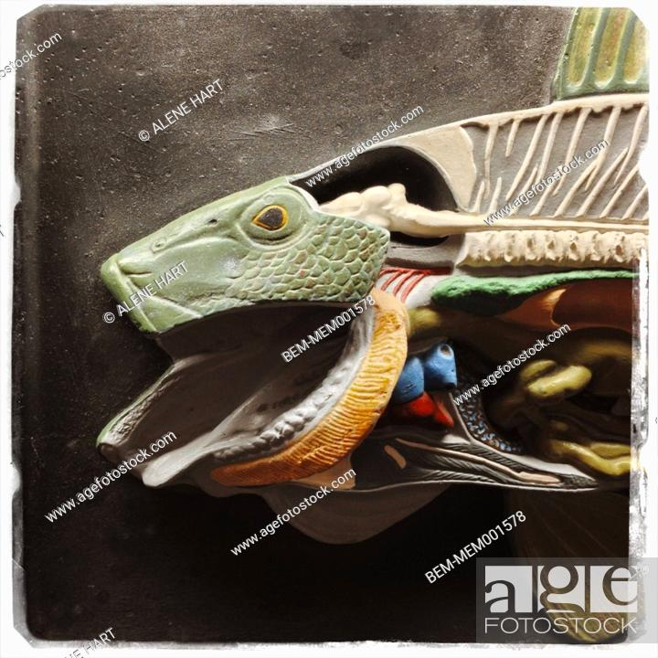 Close up of fish anatomy model, Stock Photo, Picture And Royalty ...