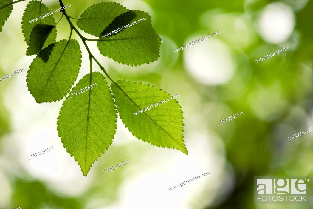 Imagen: Hojas en el árbol en primavera. Contraluz. Color.