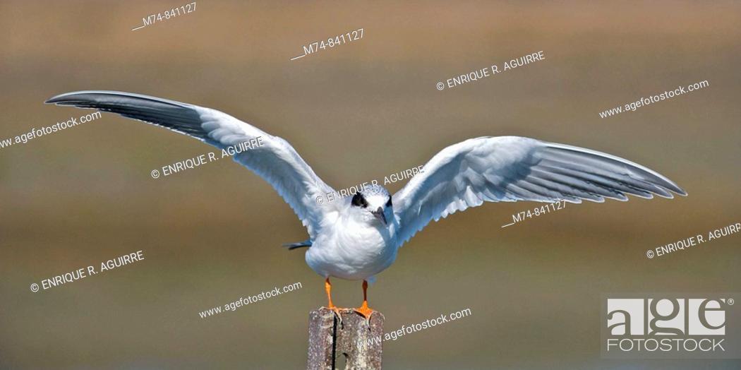 Stock Photo: Forster's Tern Sterna forsteri.
