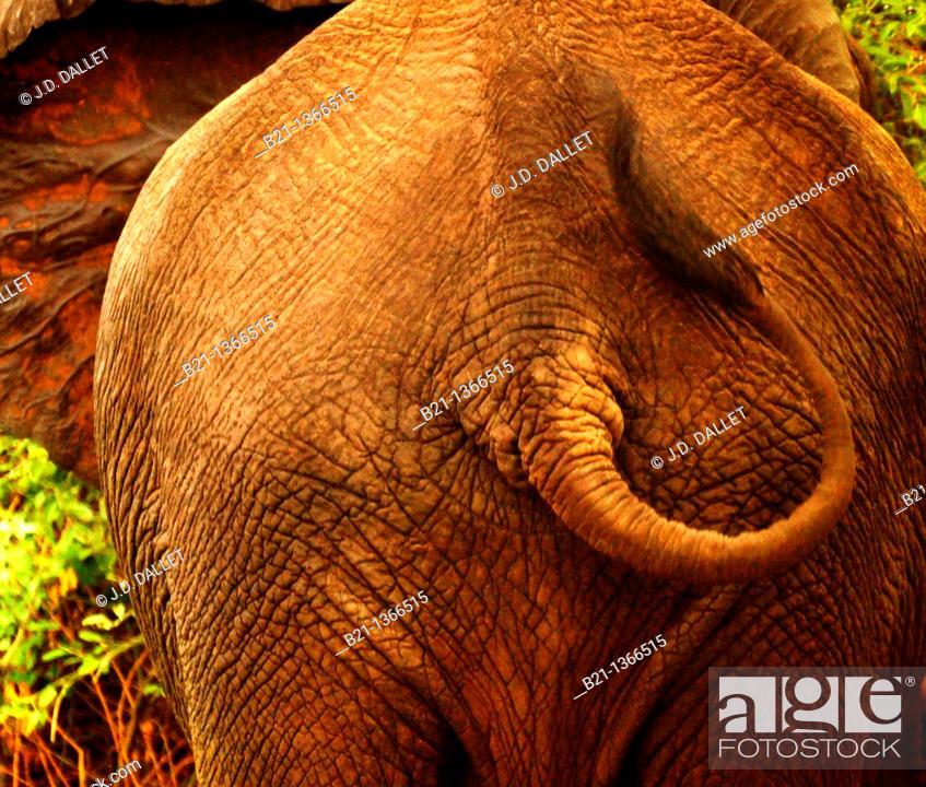 Stock Photo: Elephant (Loxodonta africana), Chobe National Park, Botswana.