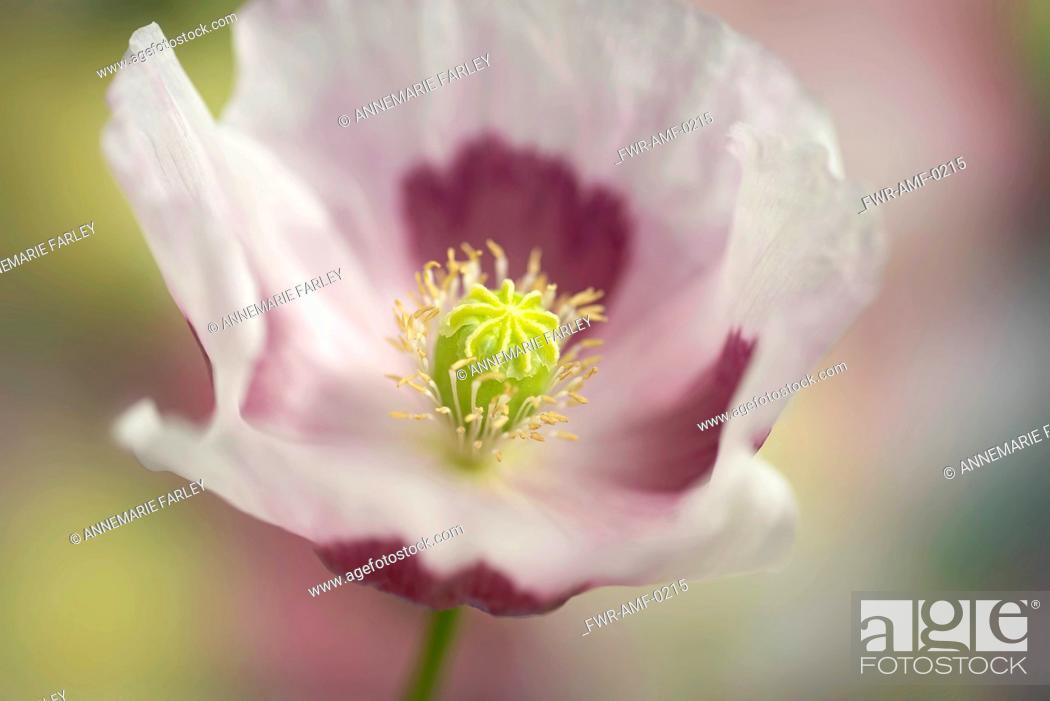 Stock Photo: Opium poppy, Papaver somniferum, close up showing the stamens and stigma.