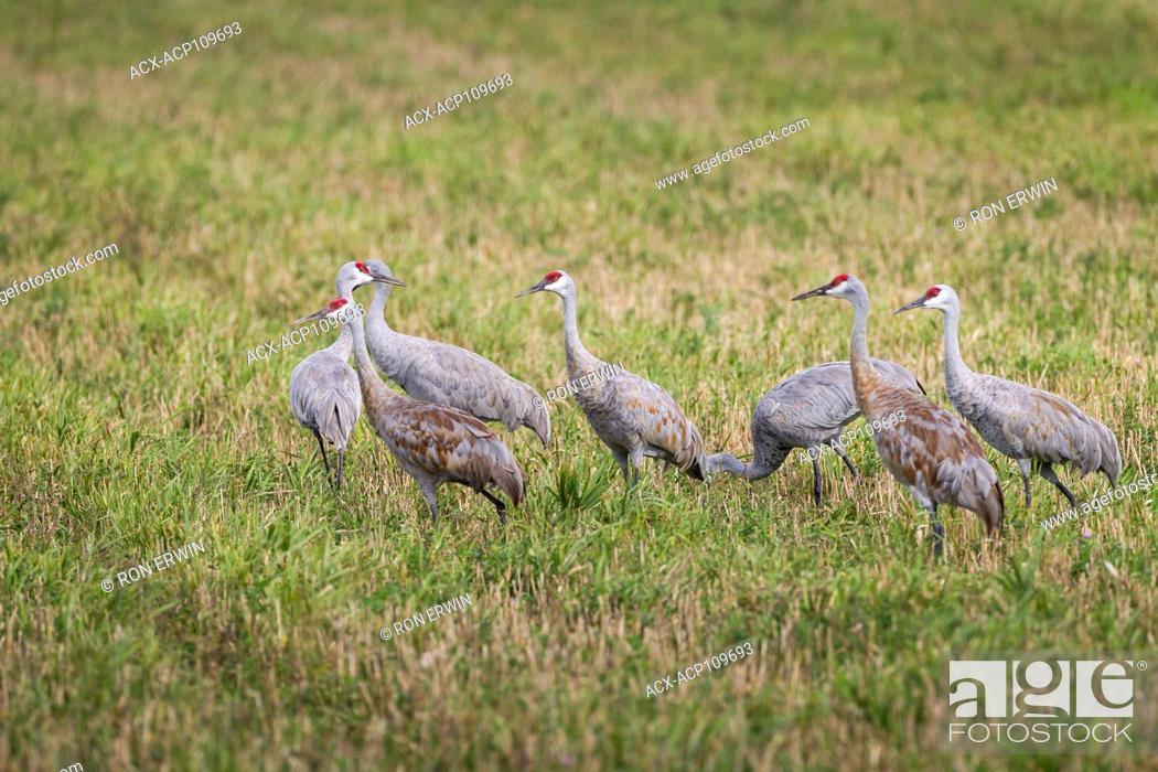 Stock Photo: Sandhill Crane Flock (Antigone canadensis), Manitoulin Island, Ontario.