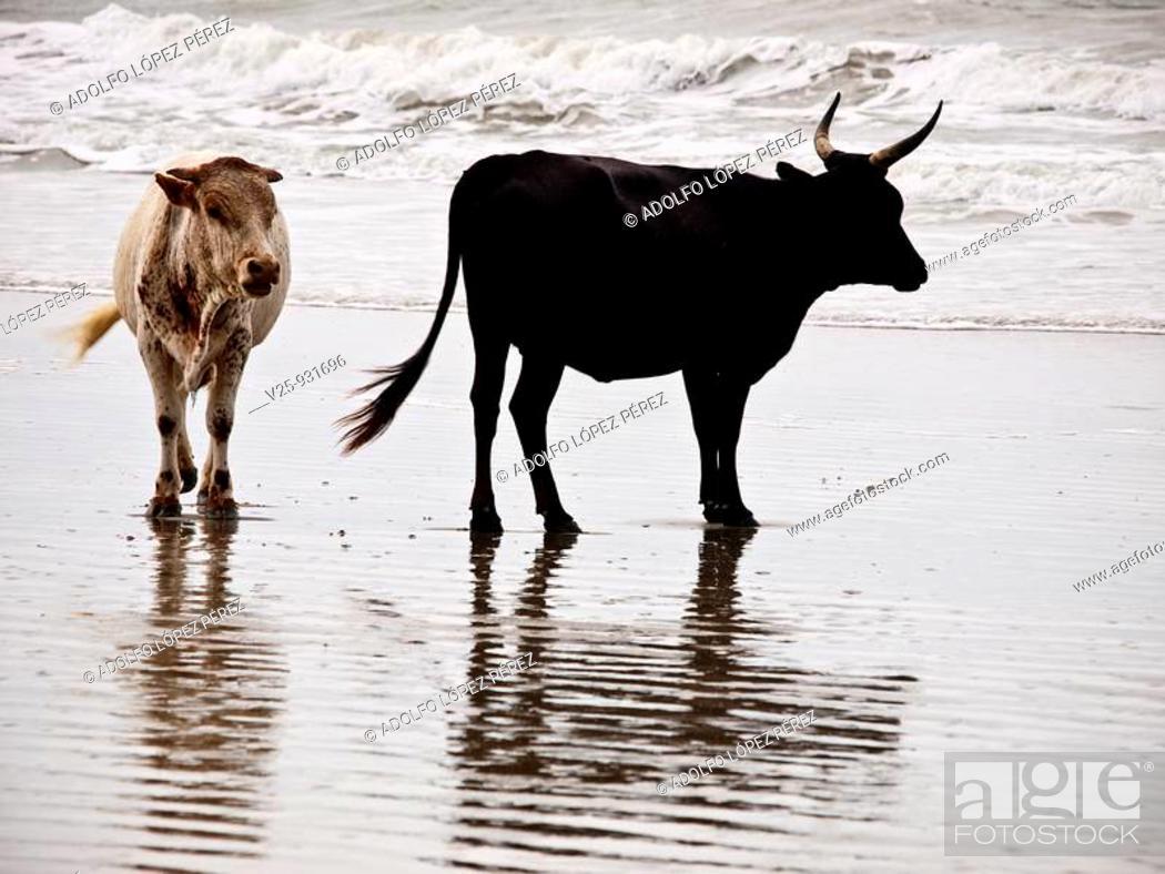 Stock Photo: Cattle.