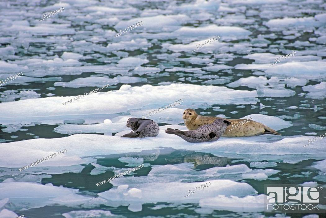 Stock Photo: Harbor Seal mom & young  Le Conte Glacier, Alaska  Phoca vitulina.