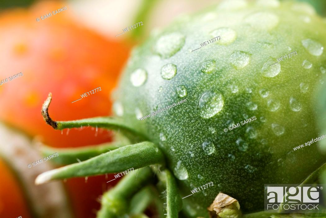 Stock Photo: Drops on immature green tomatoe after a rain shower.