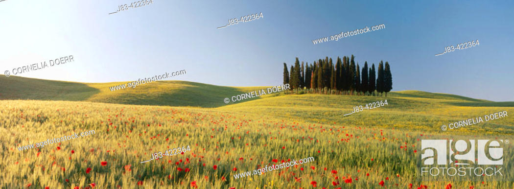 Stock Photo: Group of cypresses in field with poppies. Val d'Orcia. Tuscany. Italy.
