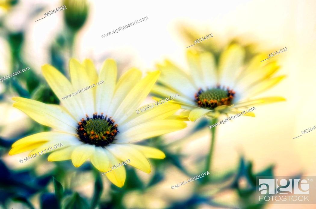 Stock Photo: Yellow african daisies. Dimorphotheca barberiae. March 2006, Maryland, USA.