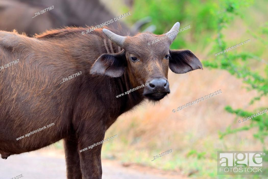 Stock Photo: African buffalo or Cape buffalo (Syncerus caffer), young male on a paved road, Kruger National Park, South Africa, Africa.