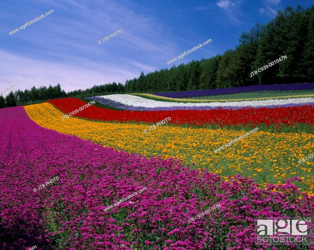 Stock Photo: Flower garden Farm Tomita Nakafurano Furano Hokkaido Japan Blue sky Flower Plant Tree Green lavender.