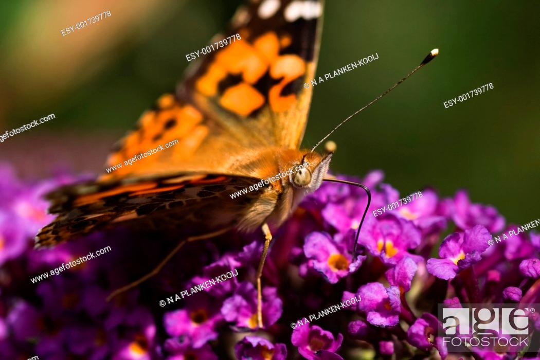 Stock Photo: Painted Lady drinking.