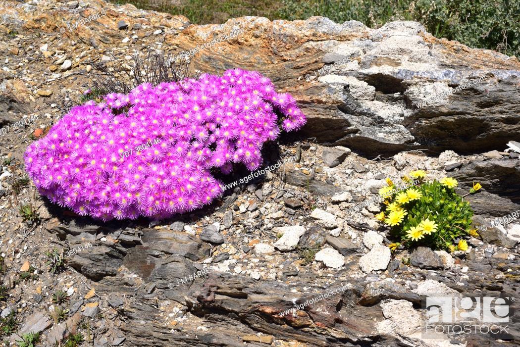 Imagen: Magic carpet or redondo creeper (Drosanthemum floribundum) is a creeping succulent plant native to South Africa and naturalized in Mediterranean region.