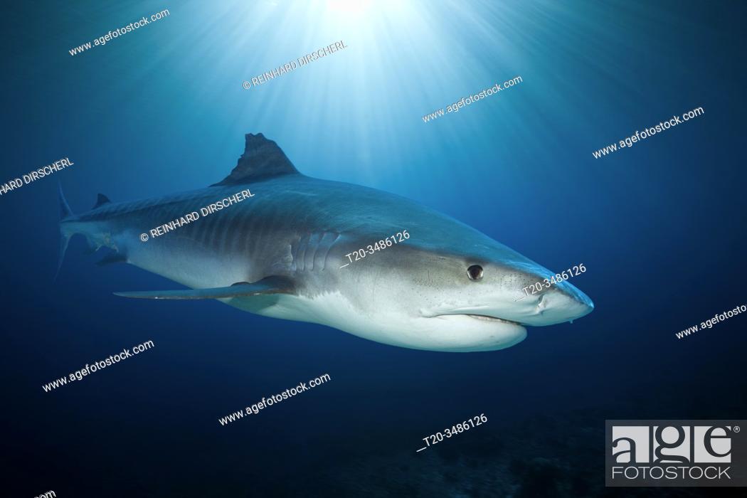 Imagen: Tiger Shark, Galeocerdo cuvier, Moorea, French Polynesia.