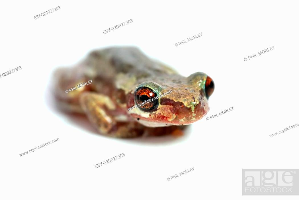 Stock Photo: little red eye tree frog.