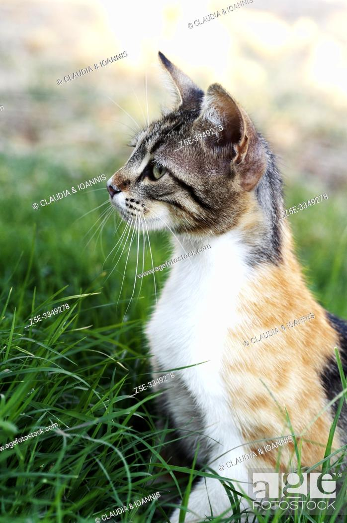 Stock Photo: Side view of a calico cat sitting in the grass.