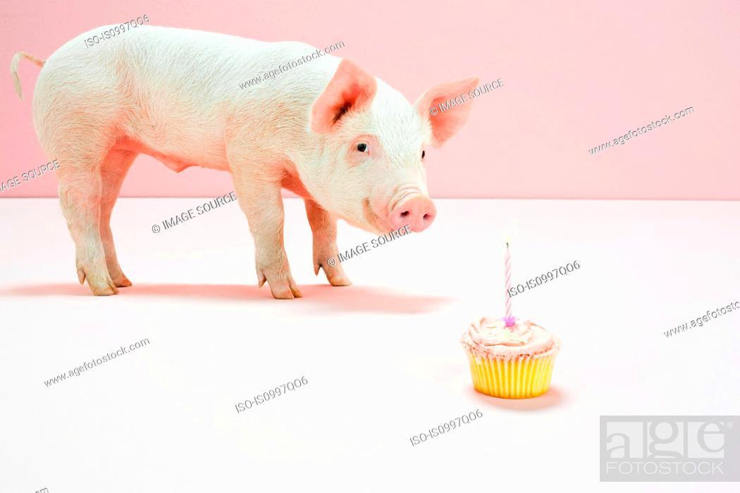 Stock Photo: Piglet looking at birthday cake in studio.