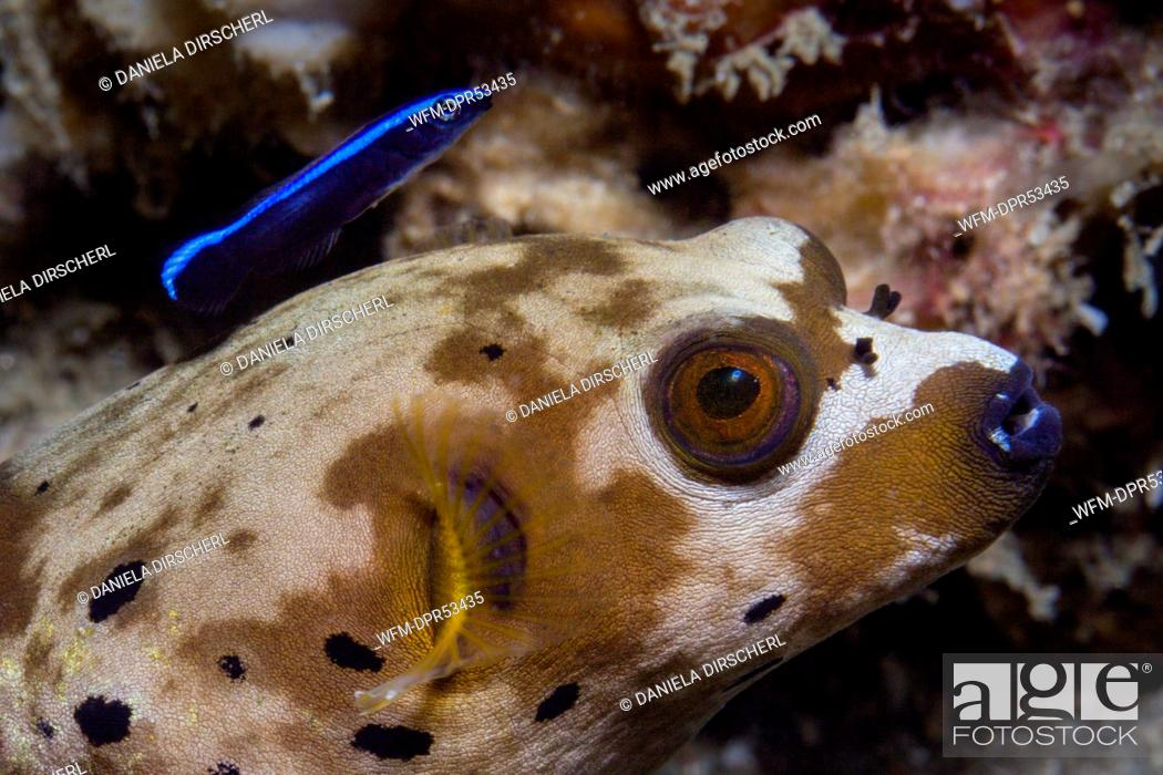 Stock Photo: Blackspotted Puffer and Cleaner Wrasse, Arothron nigropunctatus, Ambon, Moluccas, Indonesia.