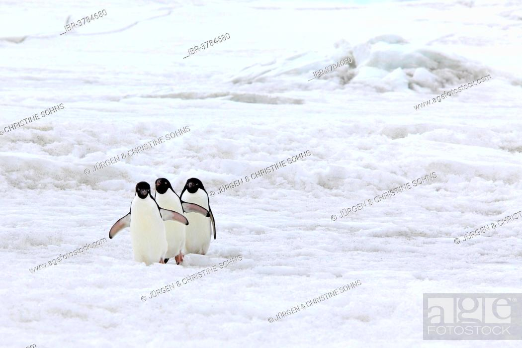 Photo de stock: Three Adélie Penguins (Pygoscelis adeliae), adults walking in the snow, Devil Island, Antarctica.