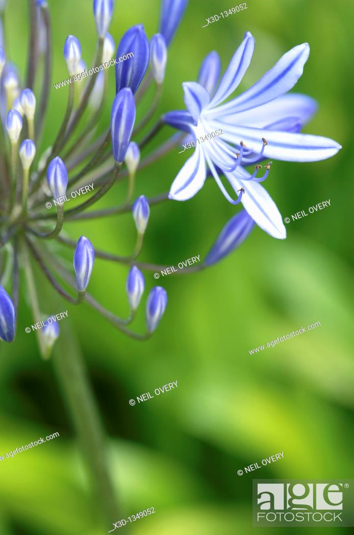 Stock Photo: Agapanthus praecox flower, Cape Town, South Africa.