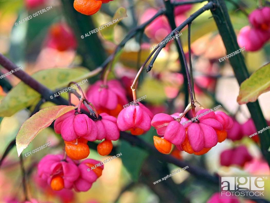 Stock Photo: Euonymus alatus.