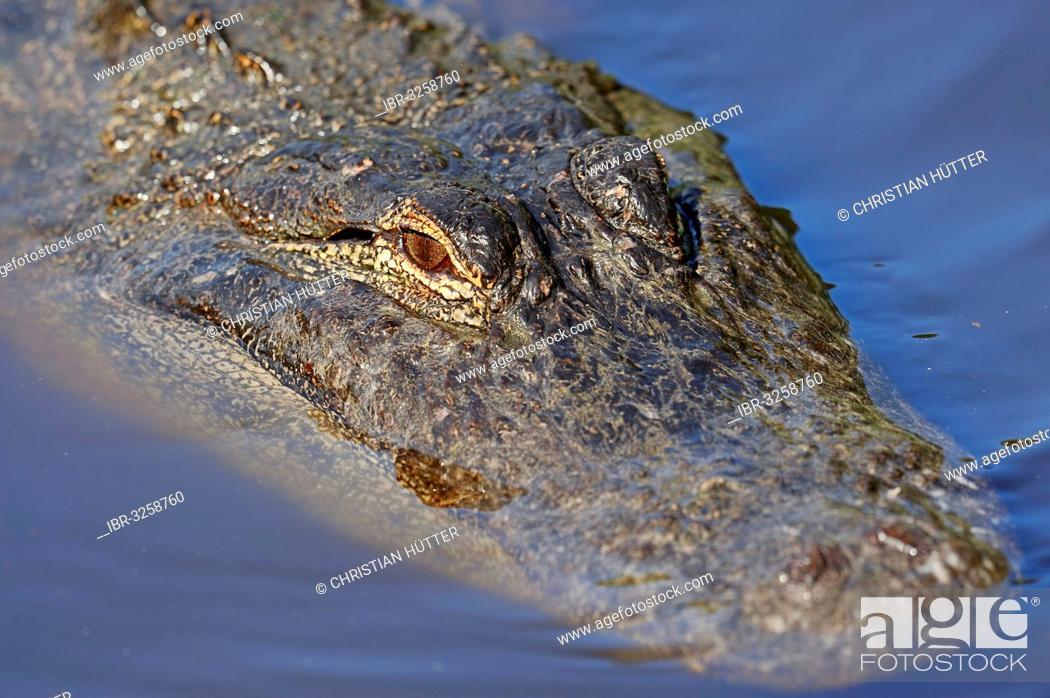 Stock Photo: American Alligator (Alligator mississippiensis) in the water.