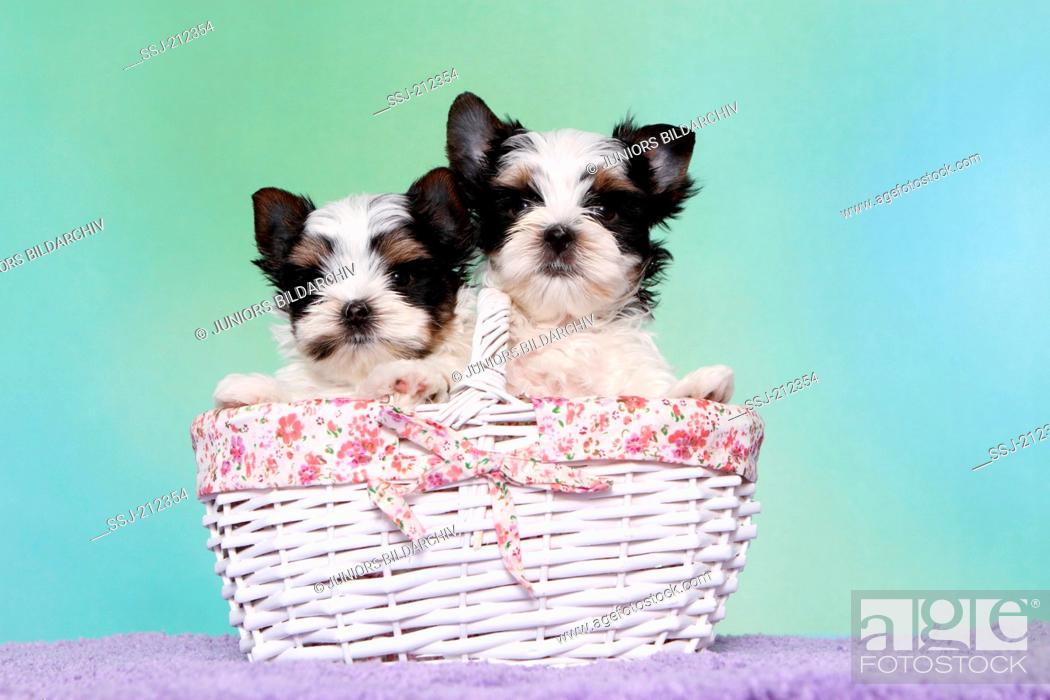 Stock Photo: Biewer Terrier. Two puppies (7 weeks old) in a shopping basket. Studio picture against a blue background. Germany.