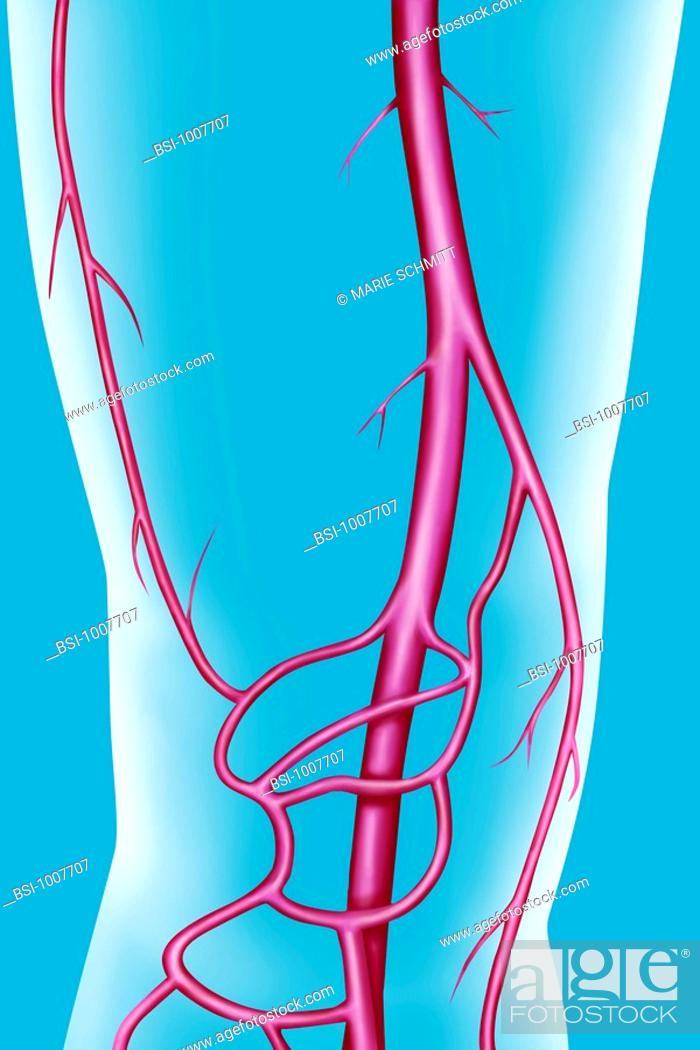 Arteries of the thigh and the knee. The superficial femoral artery ...