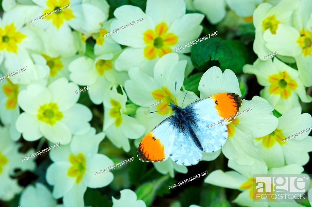 Stock Photo: Orange-tip Butterfly Anthocharis cardamines adult, feeding on Primrose Primula vulgaris in garden, England.