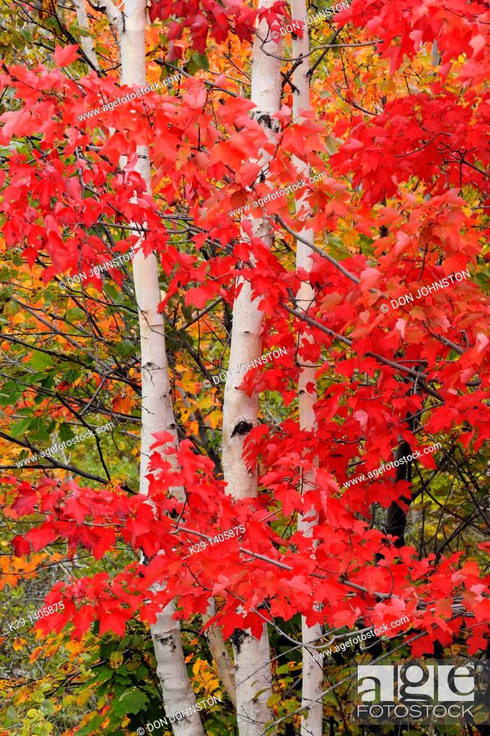 Stock Photo: Acer rubrum Red Maple Autumn foliage with white birch tree trunks.