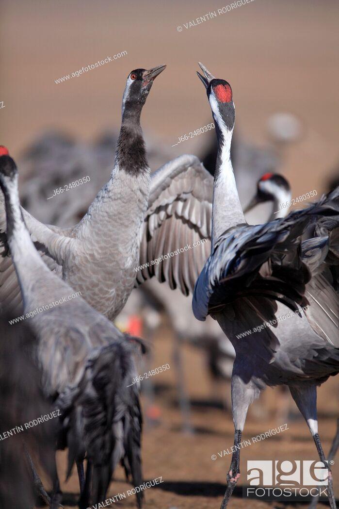 Imagen: Cranes (Grus grus) in the wildlife reserve Gallocanta. Zaragoza. Spain.