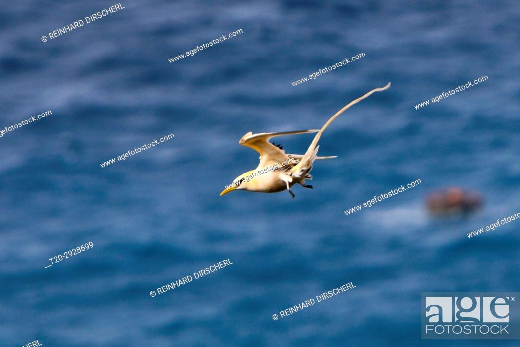 Stock Photo: Golden Bosun, Phaethon lepturus fulvus, Christmas Island, Australia.