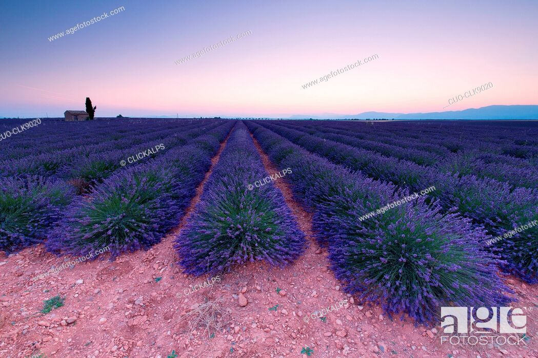 Stock Photo: Lavander field, Plateau de Valensole, Alpes-de-Haute Provence, Provence, France, Europe.