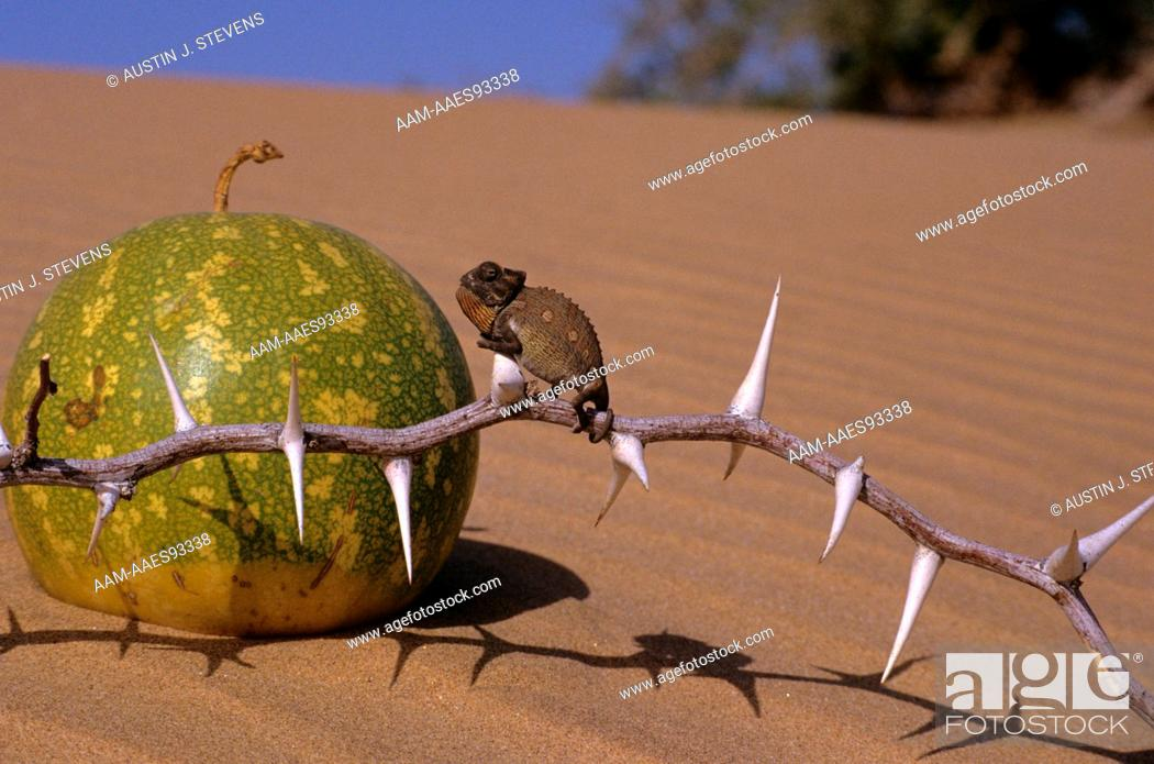 Stock Photo: Desert Chameleon juvenile close to Desert Tsama Melon (Chameleo namaquensis) Namibia.