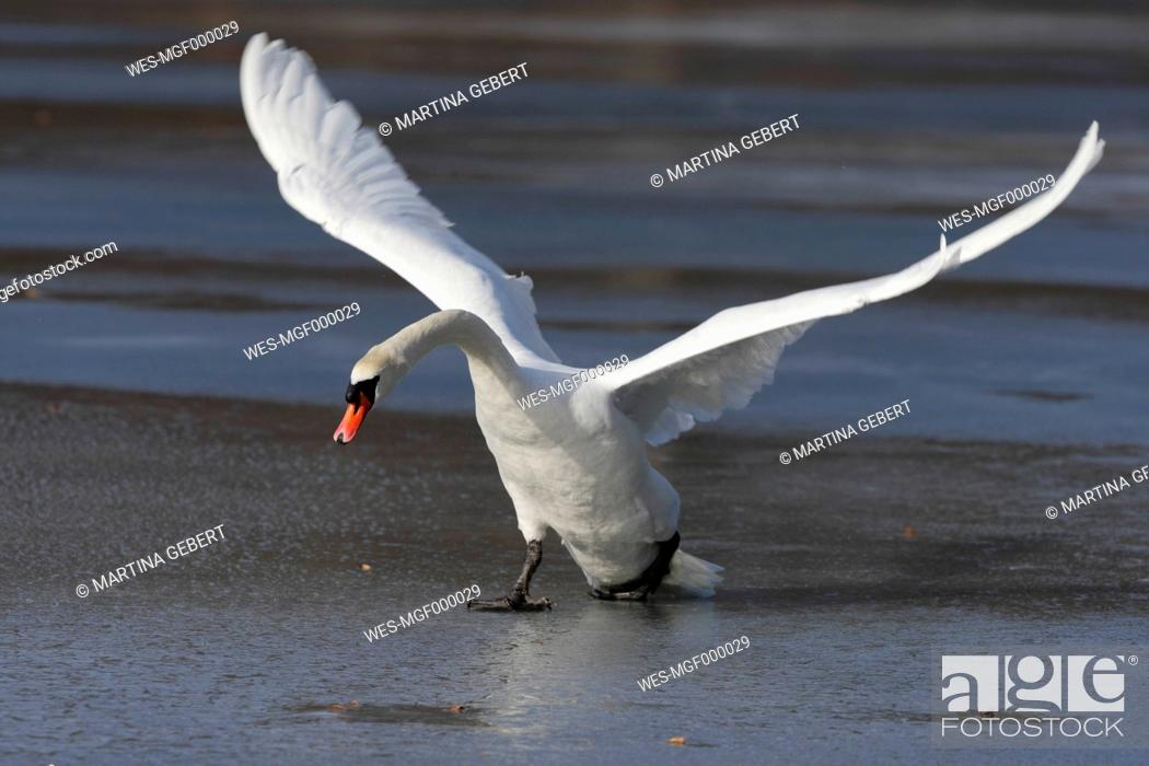Stock Photo: Germany, Munich, Close up of greylag goose spreading wings near water.