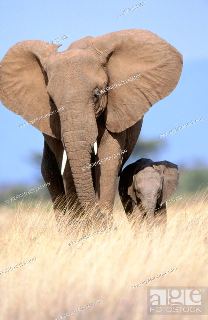 Stock Photo: African Elephants (Loxodonta africana), mother and calf. Samburu National Reserve. Kenya.