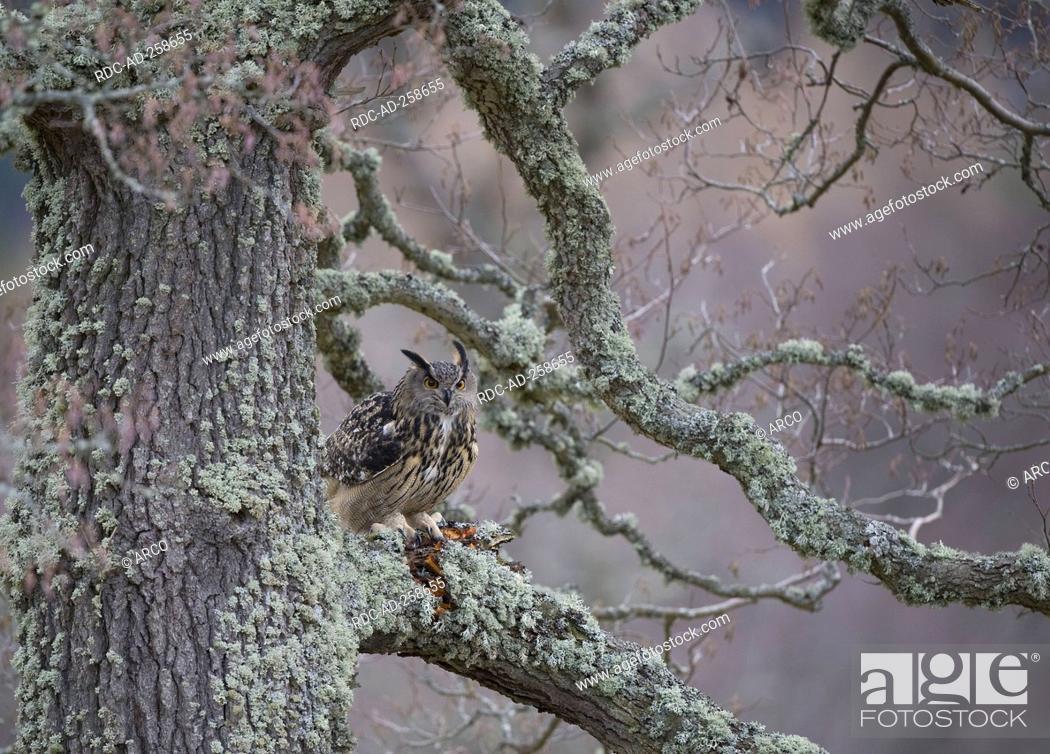 Stock Photo: Eagle Owl Bubo bubo.