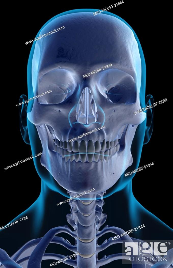 Stock Photo: The bones of the head, neck and face.