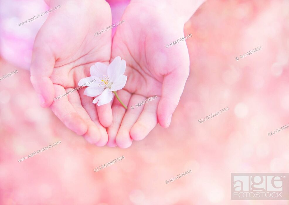 Stock Photo: Child's hands holding a cherry blossom.